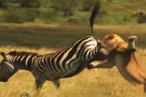 CLIP: Ngựa vằn tung 'liên hoàn cước' về phía sư tử