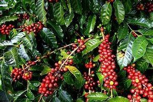 Giá cà phê hôm nay 20/11: Giảm 500 đồng/kg do ảnh hưởng giá thế giới
