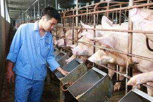 Cấp bách bình ổn thị trường thịt lợn