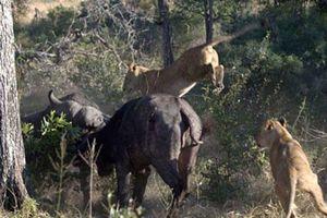 Trâu hỗn chiến với sư tử suốt 6 giờ