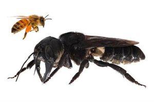 Tuyệt chủng gần 40 năm, ong 'quái vật' khổng lồ tái xuất