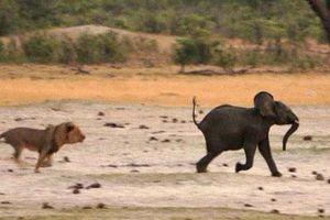 Kinh hoàng sư tử đói truy sát voi con