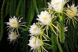Hoa thanh long: Ít người biết đó là một món ăn bổ dưỡng cũng là những bài thuốc quý