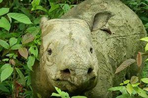 Tê giác Sumatra chính thức tuyệt chủng