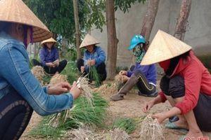 Tin NN miền Trung: Nông dân Hà Tĩnh tất bật vào mùa thu hoạch hành