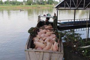 Ngăn chặn tình trạng nhập lậu lợn thịt trên địa bàn tỉnh An Giang