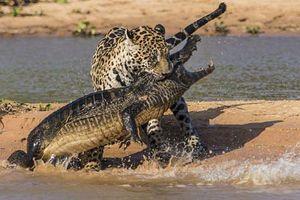 Ảnh động vật: Rùa lười nhác cưỡi lưng cá sấu