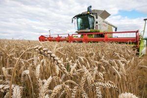 Giá lúa mì tăng phiên thứ 2 liên tiếp do diện tích gieo trồng tại Hoa Kỳ giảm
