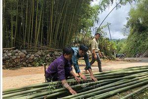 Trúc sào – cây xóa đói giảm nghèo ở Bảo Lạc, Cao Bằng