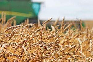 Giá lúa mì mất mốc cao nhất trong hơn 1 tháng trở lại đây