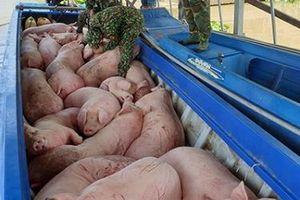 Tăng cường kiểm soát buôn bán, vận chuyển lợn nhập lậu