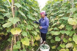 Hướng mới từ trồng dưa sạch