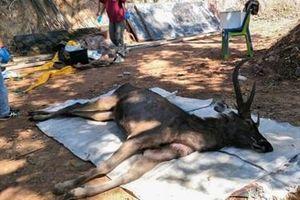 Nai rừng Thái Lan chết thảm vì nuốt 7kg túi nylon và rác
