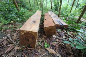 Hàng chục cây cổ thụ ở Sông Tranh bị 'xẻ thịt': Kiểm lâm, BQL rừng đang xác minh