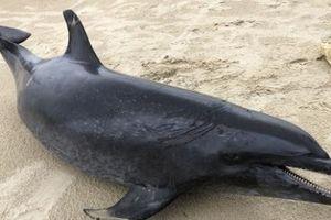 Quảng Ngãi: Phát hiện thi thể cá heo nặng 60kg dạt vào bờ biển