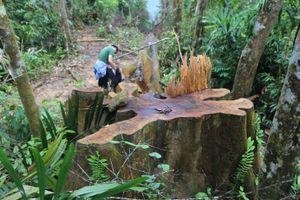 Quảng Nam khởi tố hình sự vụ phá rừng ở xã Trà Nú