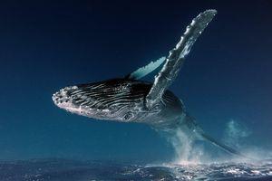 Cá voi 'bay', khỉ cô đơn lọt top ảnh thiên nhiên của năm