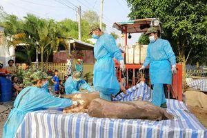 Ngăn chặn lợn nhập lậu ngay từ biên giới