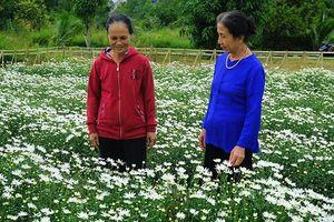 Thử nghiệm thành công mô hình trồng cúc họa mi tại Đà Nẵng