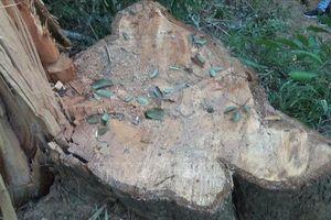 Vụ phá rừng đặc dụng tại Đắk Lắk: Hơn 40m3 gỗ các đối tượng chưa kịp vận chuyển đi