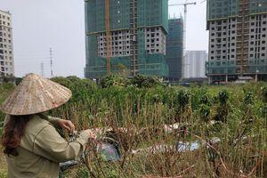 Chùm ảnh: Hàng nghìn cây đào ở Hà Nội chưa kịp 'đón' Tết đã héo dần, chết khô