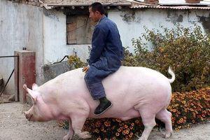 Giá thịt lợn tăng vọt, Trung Quốc chạy đua nhân giống siêu lợn