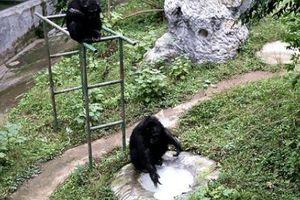 Dân mạng 'phát sốt' với video tinh tinh giặt quần áo thuần thục cho nhân viên vườn thú