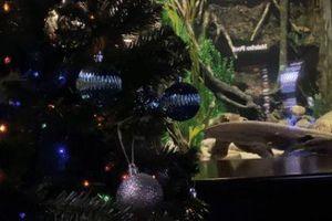 Bất ngờ chứng kiến cảnh lươn phóng nguồn điện thắp sáng cây thông Noel