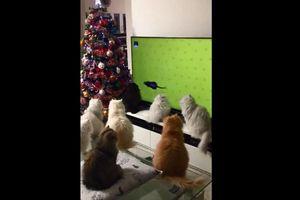 Cười ngất với phản ứng của những chú mèo khi chuột chạy trên ti vi