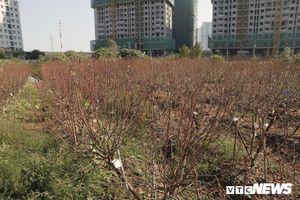 Dân Hà Nội chua xót nhìn hàng nghìn cây đào chưa kịp đón Tết đã héo dần, chết khô