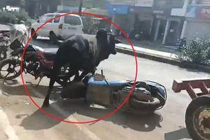Con bò bị chó dại cắn húc loạn xạ 36 người đi đường