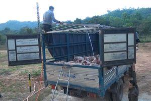 Tiêu hủy gần 3,5 tấn lợn thịt nhập lậu từ Lào vào Việt Nam