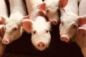 Trung Quốc nói sẽ khôi phục sản lượng thịt heo trong vòng 3 năm tới