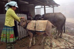 Lào Cai: Chống rét cho đàn gia súc