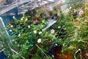 Sân thượng 80m2 chật kín rau quả, hoa hồng và gà sạch ở Sài Gòn