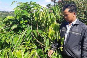 Gần 600 cây cà phê của người dân bị trộm sạch