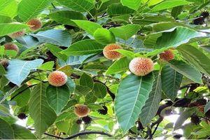 Điều ít ai hay về cây gáo vàng được ưa chuộng ở Việt Nam