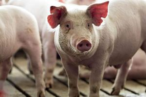 Trung Quốc miễn áp thuế trả đũa với thịt lợn và đậu tương Mỹ