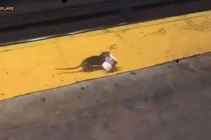 Video 'chuột cà phê' ở ga tàu điện ngầm New York gây sốt mạng xã hội