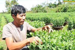 Đắk Nông: Hoa cúc phục vụ Tết 2020 nhiễm bệnh tràn lan