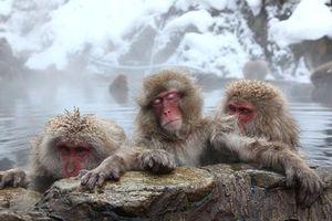 Đàn khỉ tuyết tắm suối nước nóng mỗi sáng