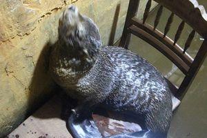 Phát hiện cá thể giống hải cẩu trôi dạt vào bờ biển ở Huế