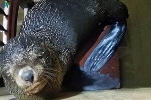 Người dân bắt được hải cẩu dạt vào bãi biển ở Thuận An