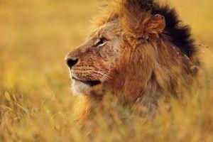 Sư tử xổng chuồng ăn thịt người đàn ông