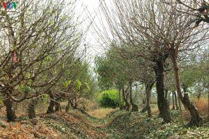 Người dân làng đào Đình Bảng tất bật tuốt lá vụ Tết nguyên đán 2020