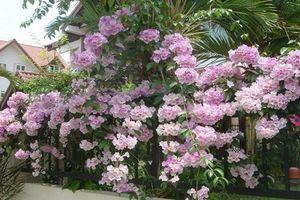 Sự thật 'choáng' loài hoa mùi như tỏi, được yêu thích ở Việt Nam
