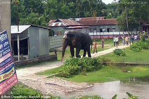 Voi rừng gây náo loạn khu dân cư ở Ấn Độ