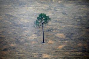 Diện tích rừng Amazon bị phá năm nay đã gấp 12 lần diện tích Singapore
