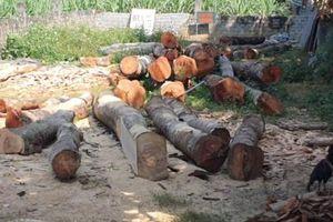 Đang làm rõ vụ khai thác gỗ Lim bán cho anh trai Chủ tịch huyện Bá Thước