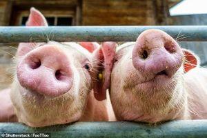 Thu được từ lợn loại gel giúp nuôi cấy các cơ quan nội tạng theo đơn đặt hàng